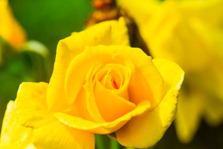 sun flare: Sun Flare Rose or Violet Rose in Garden, Thailand. Stock Photo