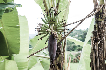Banana blossom and fruit in country, Thailand. Imagens - 47359511