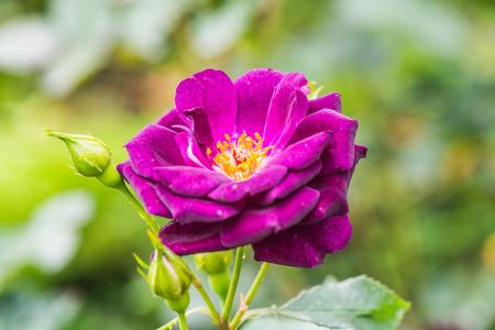 blue rose: Midnight Blue Rose or Dark Violet Rose in Garden, Thailand.