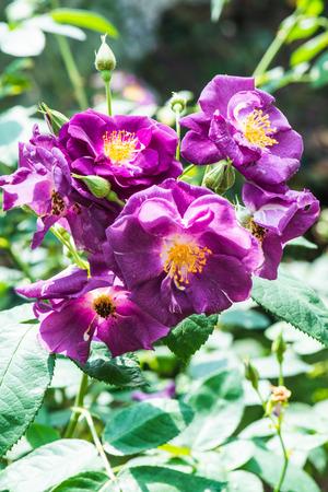 hans: Hans Gonewein Rose or Violet Rose in Garden, Thailand.