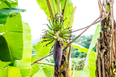 Banana blossom and fruit in country, Thailand. Imagens - 48500519