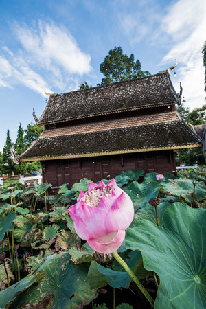 lotus flowers: Pink Lotus with Ancient Thai Church in Water Pond, Thailand.