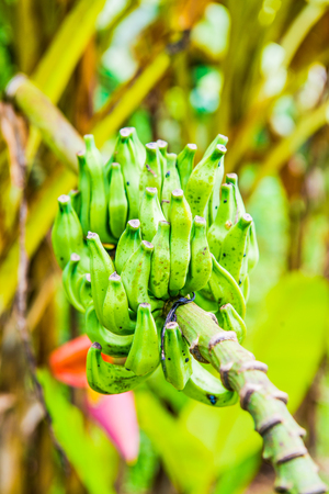 Banana fruit of Musa serpentina Swangpol and Somana, Thailand. Imagens