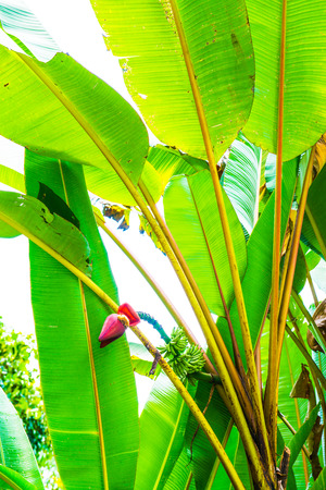 Banana blossom and fruit of Musa serpentina Swangpol and Somana, Thailand. Imagens - 50154292