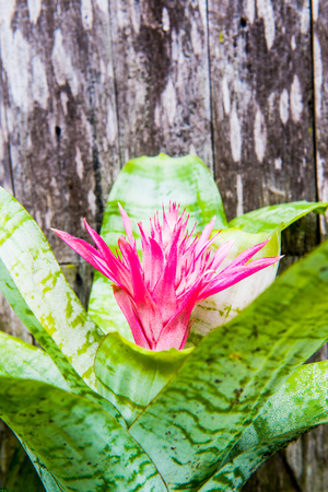 backgroung: Pink flower with old wooden backgroung, Thailand.