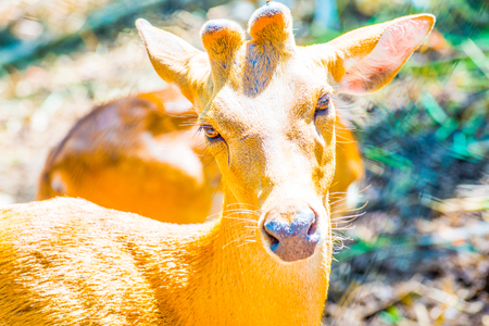 spotted: Portrait of Cheetal Spotted deer, Thailand.