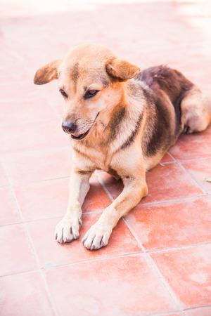 Thai dog on ceramic floor, Thailand.