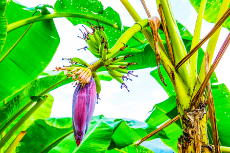 Banana blossom and fruit in country, Thailand.