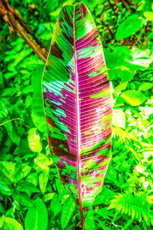 musa: Banana leaf of Musa acuminata Colla subsp. zebrina, Thailand. Stock Photo
