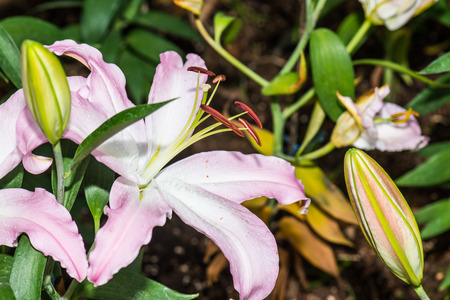 pink lily: Pink lily flower, Thailand Stock Photo