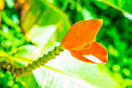 Banana blossom of Musa serpentina Swangpol & Somana, Thailand. Imagens