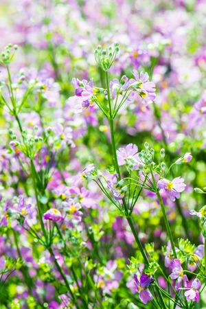 violet flowers: Background of violet flowers, Thailand