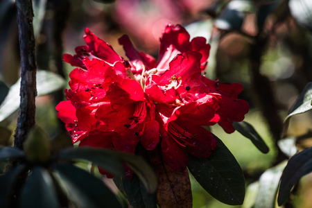 doi: Rhododendron arboreum flower at Doi Inthanon national park, Thailand