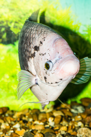 aquaria: Giant gourami fish, Thailand