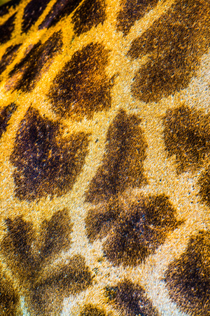 leather skin: Closeup of Gicraffe leather skin, Thailand. Stock Photo