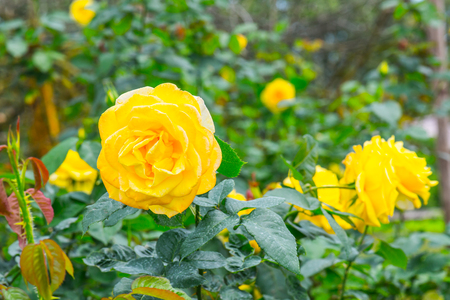 sirikit: Queen Sirikit Rose or Yellow and Pink Rose in Garden, Thailand.