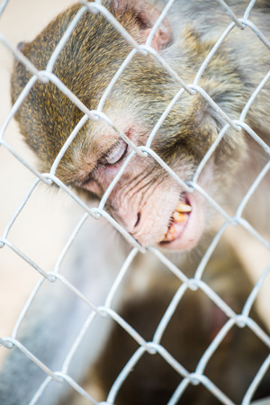 pigtail: Pigtail Macaque monkey in cage for conservation Stock Photo