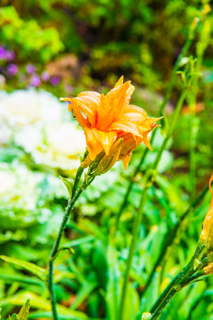 drop in: Orange flower with drop in park, Thailand