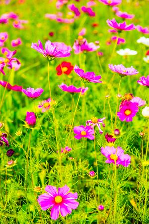 cosmos flower: Field of cosmos flower, Thailand