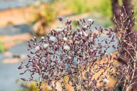 lechugas: Flor de coral rojo lechuga, Tailandia