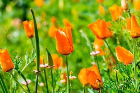 Oranje bloemen in de tuin, Thailand