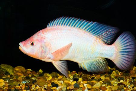 nile tilapia: Red tilapia fish, Thailand Stock Photo