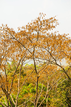treetop: Treetop in forest , Thailand