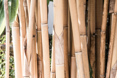 thailand bamboo: Yellow bamboo background, Thailand