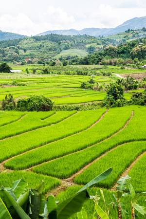 rice terraces: Rice terraces in country, Thailand.