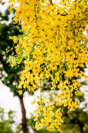 golden shower: Golden Shower Flowers on Tree, Thailand