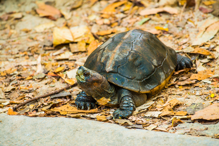 terrapin: Orange Headed Temple Terrapin or Giant Asian Pond Turtle, Thailand