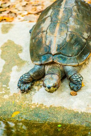 terrapin: Orange Headed Temple Terrapin or Giant Asian Pond Turtle, Thailand