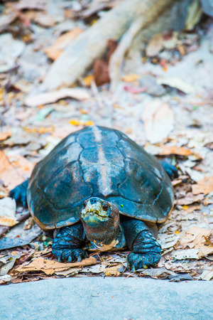 headed: Orange Headed Temple Terrapin or Giant Asian Pond Turtle, Thailand