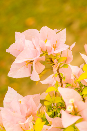 bougainvillea flowers: Close up of pink bougainvillea flowers, Thailand Stock Photo