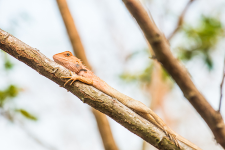 africa chameleon: Chameleon on the branch in nature, Thailand Stock Photo