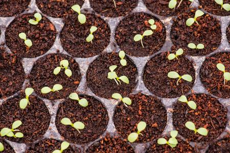 seedlings: Vegetable seedlings, Thailand