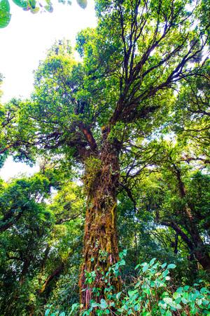 Big Tree in Doi Inthanon National Park, Thailand