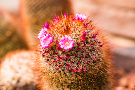 rock wool: Flower of Melocactus sp. in Thailand Stock Photo