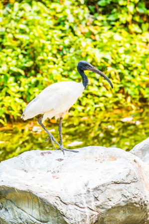 ibis: Black-headed ibis bird in nature, Thailand Stock Photo