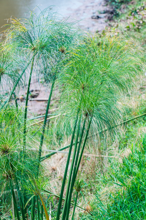sedge: Sedge plant, Thailand Stock Photo