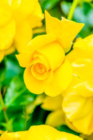 sun flare: Sun Flare Rose or Yellow Rose in Garden, Thailand. Stock Photo