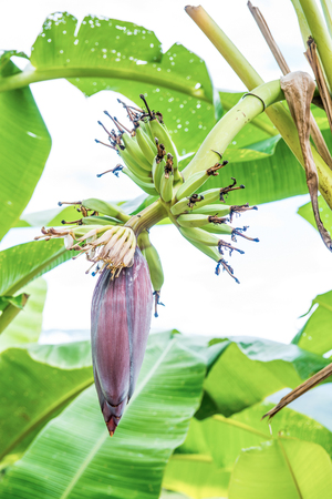 Banana blossom and fruit in country, Thailand. Imagens - 56328208