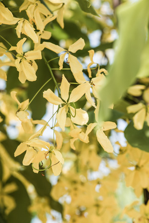 blossoming yellow flower tree: Golden Shower Flowers on Tree, Thailand