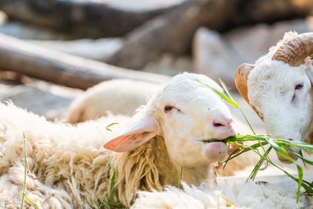 maternal: Sheep farm in Thai, Thailand
