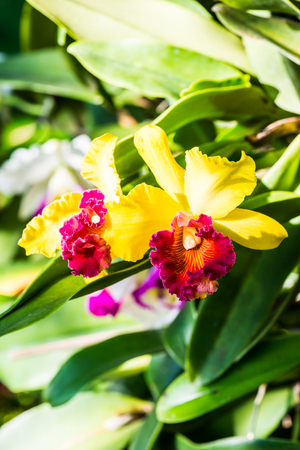 cattleya: Close Up of Cattleya Orchid, Thailand