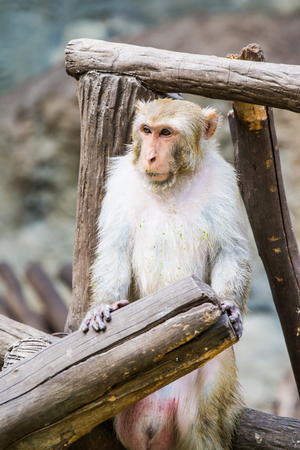 macaque: Portrait of Rhesus Macaque Monkey, Thailand Stock Photo