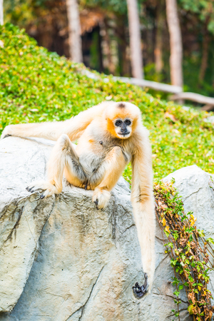 handed gibbon: Portrait of White Handed Gibbon, Thailand Stock Photo