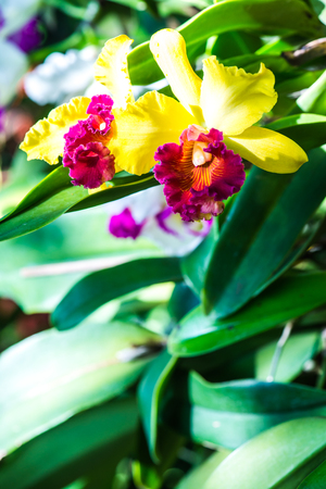 cattleya orchid: Close Up of Cattleya Orchid, Thailand