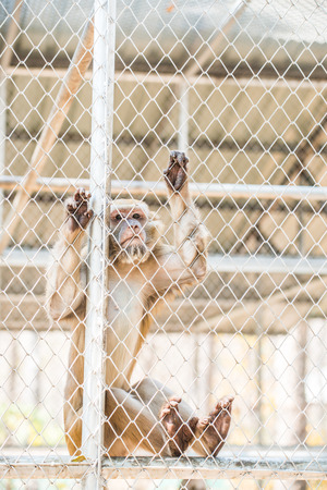 imprison: Rhesus Macaque in Cage for Conservation, Thailand Stock Photo