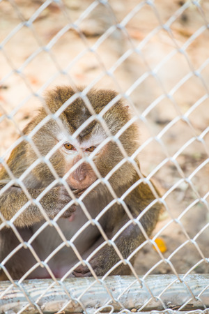 cage gorilla: Rhesus Macaque in Cage for Conservation, Thailand Stock Photo